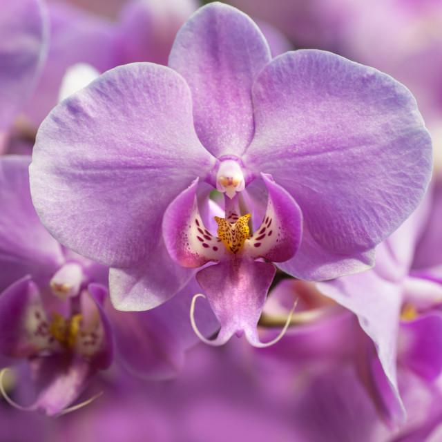 """Purple Moth Orchids closeup"" stock image"