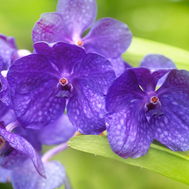 """Purple Vanda Singapore orchid close up"" stock image"