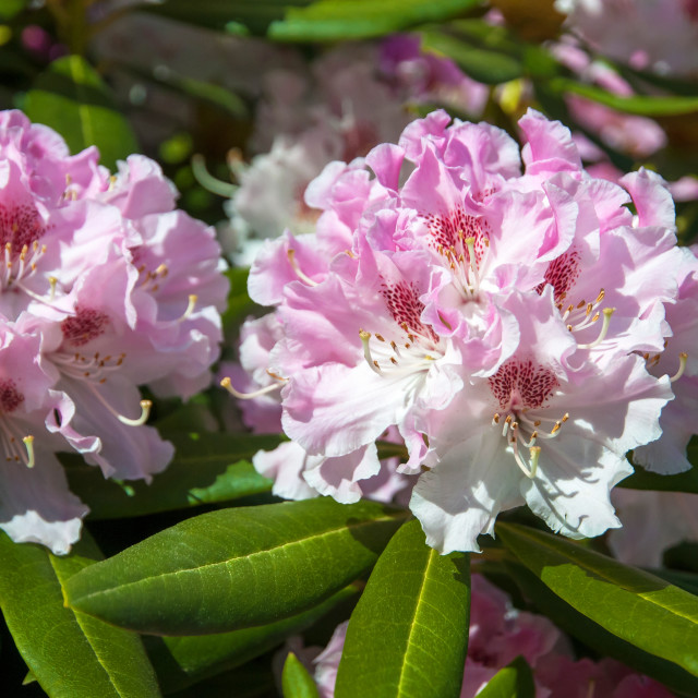 """""""Bloom of Pink White Rhododendron flowers"""" stock image"""