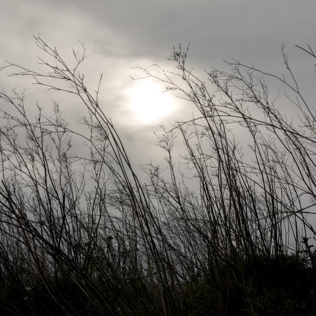 """Grass against the gloomy sky."" stock image"