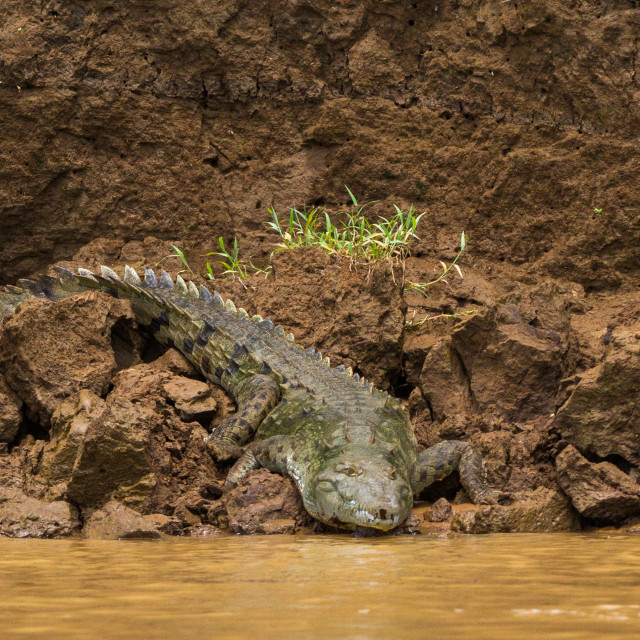 """Crocodile laying poised at the river's edge in Costa Rica"" stock image"