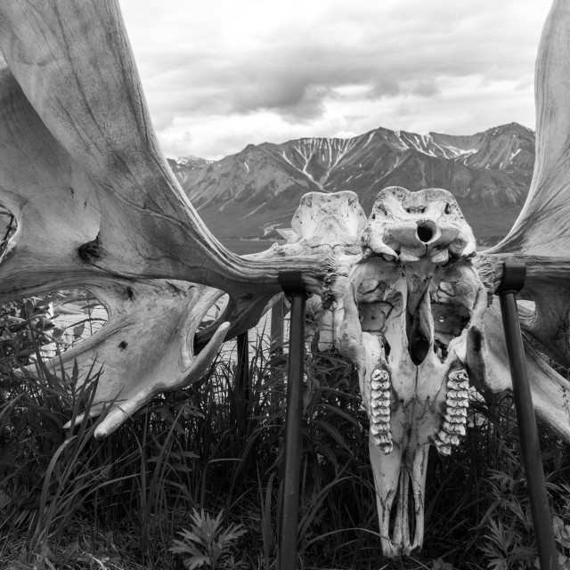 """Interlocked moose skulls in Denali National Park"" stock image"