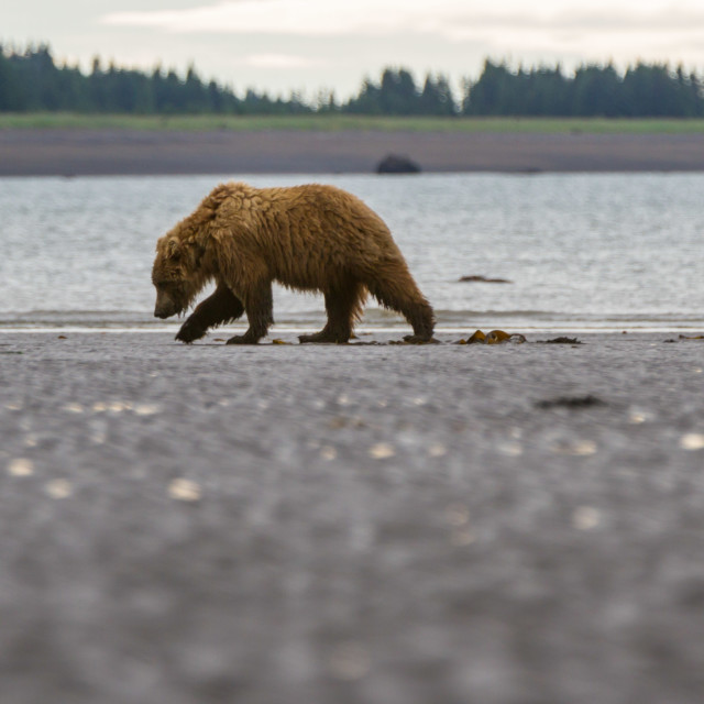 """Grizzly bear clamming on an Alaskan beach"" stock image"