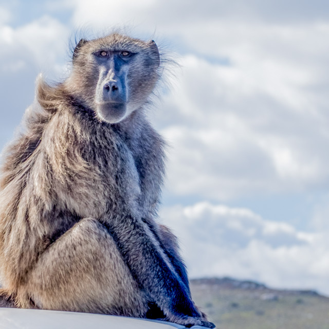 """Baboon - Cape Point, South Africa"" stock image"