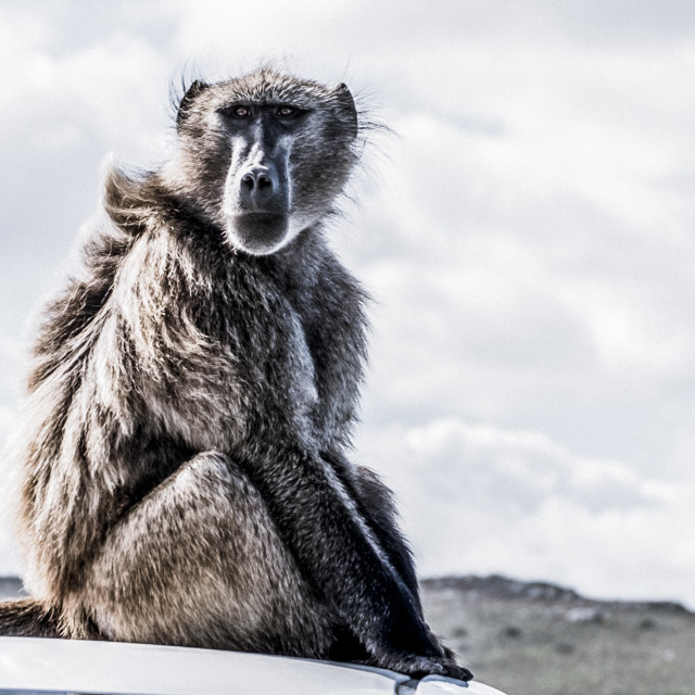 """Baboon - Grey. Cape Point, South Africa"" stock image"