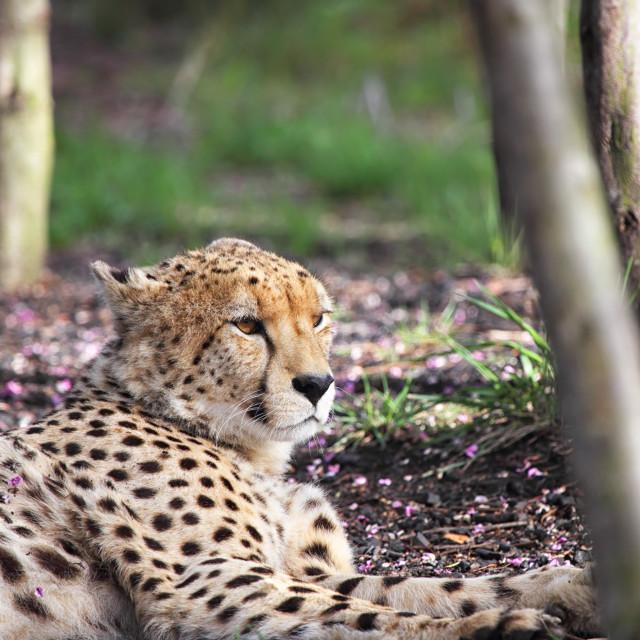 """Cheetah (Acinonyx jubatus)"" stock image"