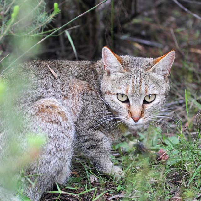 """African Wildcat (Felis silvestris lybica)"" stock image"