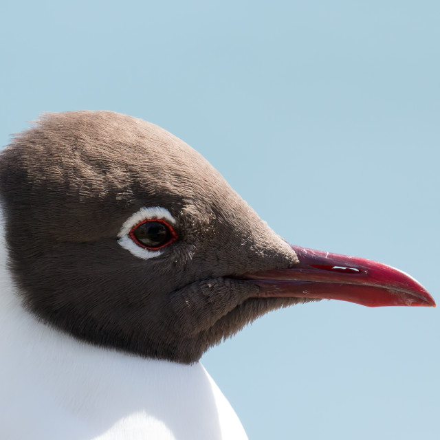 """Black-headed Gull Head Close-up"" stock image"