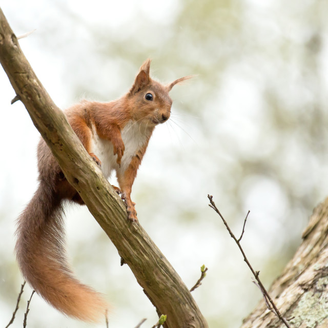 """Red Squirrel Looking Down"" stock image"
