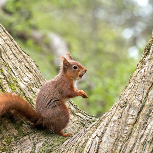 """Red Squirrel in Fork of Tree"" stock image"