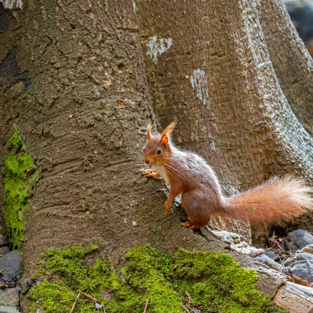 """Red Squirrel on Base of Tree"" stock image"