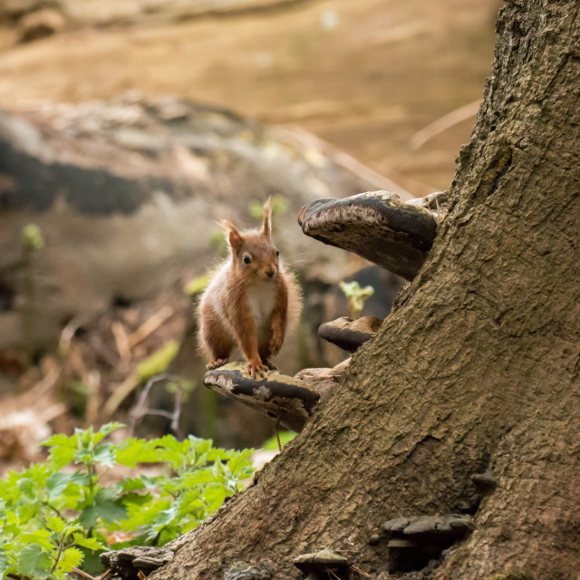 """Red Squirrel on Bracket Fungus"" stock image"