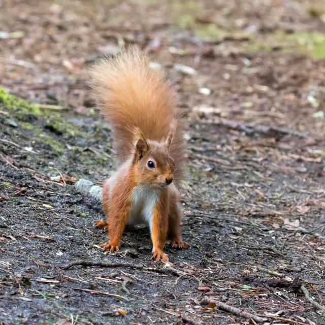 """Red Squirrel on Ground"" stock image"