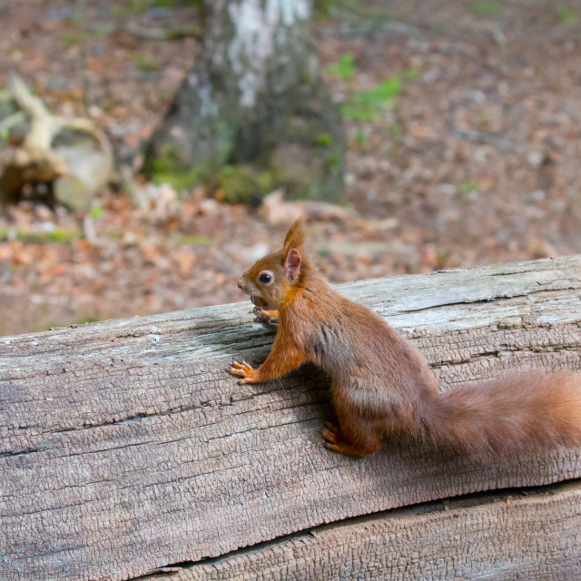 """Red Squirrel with Hazelnut"" stock image"