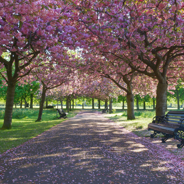 """""""Cherry Blossom in Greenwich Park"""" stock image"""