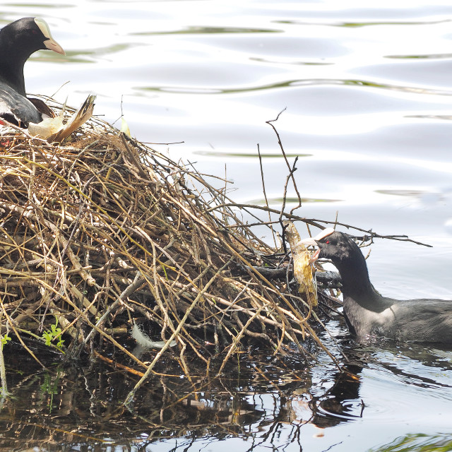 """""""Coots"""" stock image"""