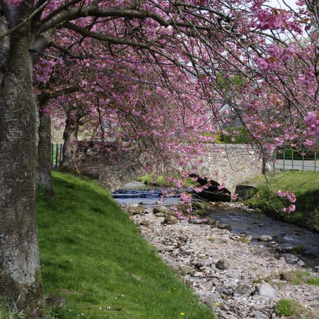 """Cherry Blossom in Central Scotland"" stock image"