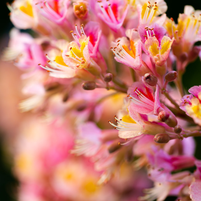 """""""Pink chestnut tree, Aesculus × carnea, or red horse-chestnut bl"""" stock image"""