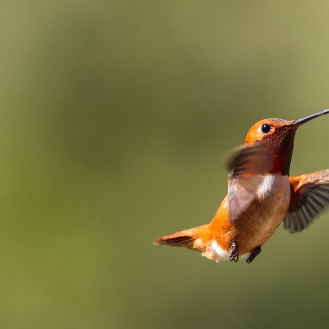 """Anna's Hummingbird in flight"" stock image"