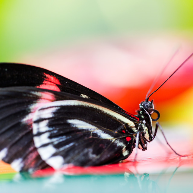 """""""Butterfly in black red and white colours profile pose"""" stock image"""