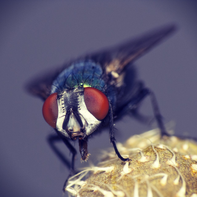 """Housefly macro"" stock image"