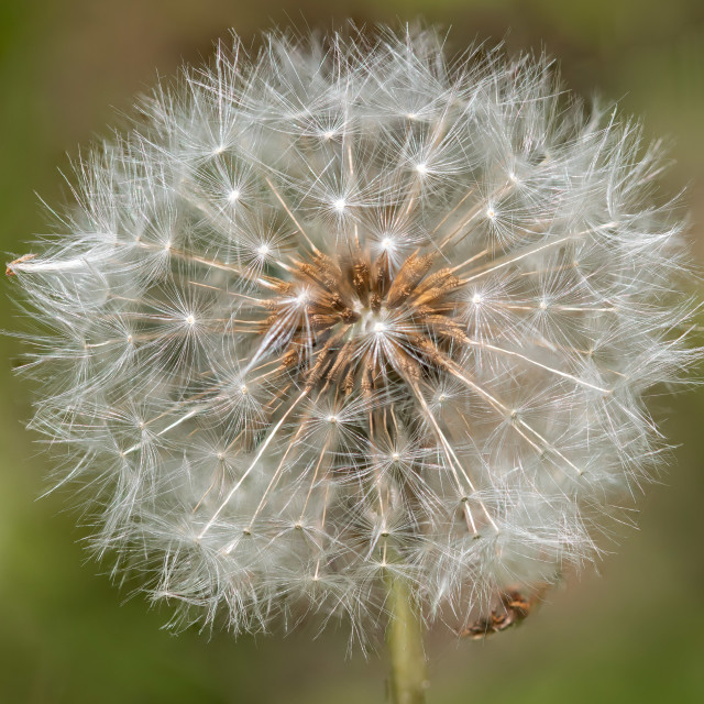 """Dandelion Starbursts"" stock image"