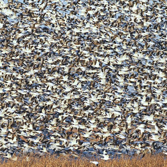 """""""Snow Goose Frenzy"""" stock image"""