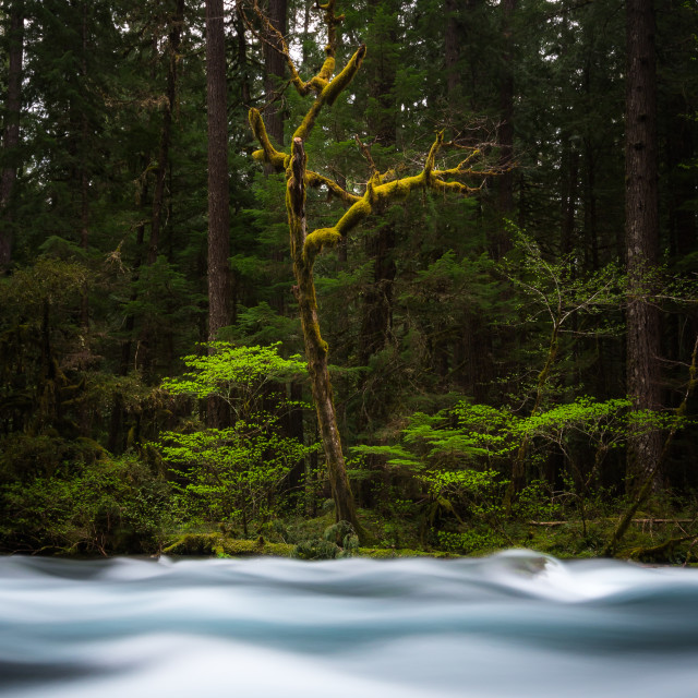 """""""Mossy Forest"""" stock image"""