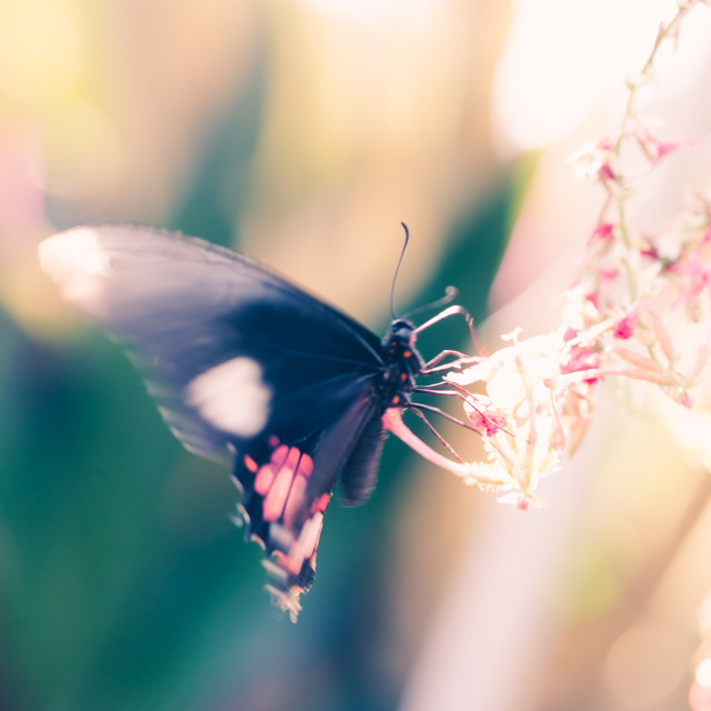 """""""Black large butterfly seats on flower head"""" stock image"""