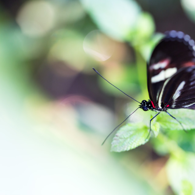 """""""Little black round wings butterfly seats on green mint leaf"""" stock image"""