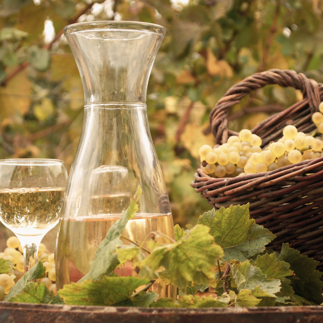 """white wine vineyard autumn season"" stock image"