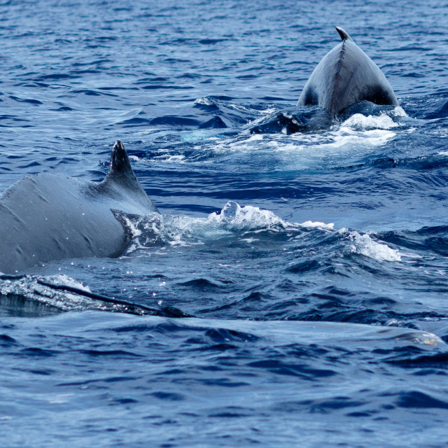"""Humpback whales swimming together."" stock image"