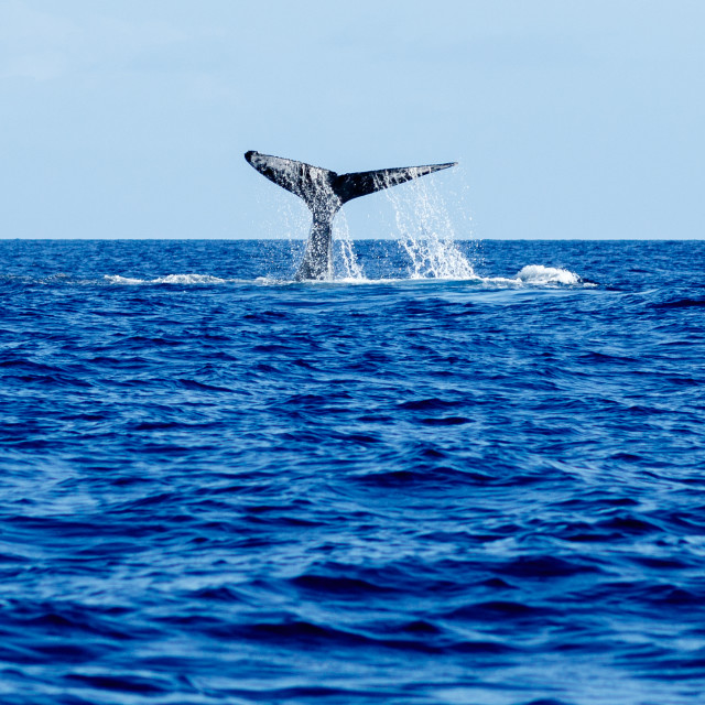 """""""Humpback whale tail slapping."""" stock image"""
