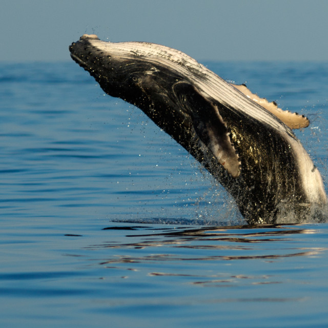 """""""Baby humpback whale breaching."""" stock image"""