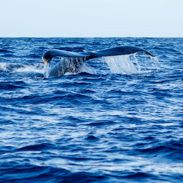 """""""Humpback whale tail fluke."""" stock image"""