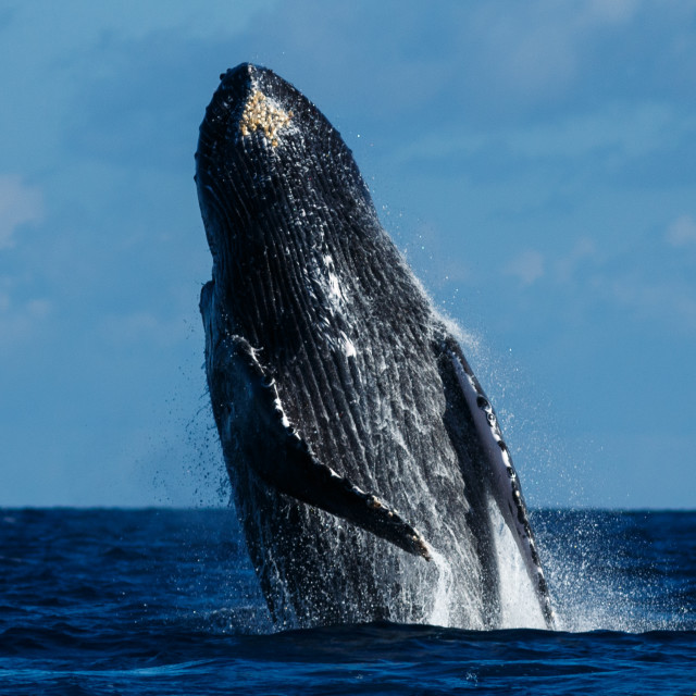"""""""Humpback whale breaching."""" stock image"""
