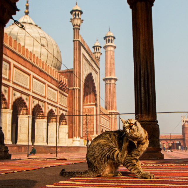 """Jama Masjid Cat"" stock image"