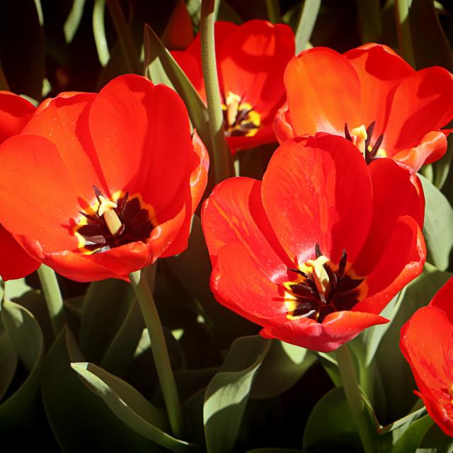 """Beautiful scarlet Darwin hybrid tulips"" stock image"
