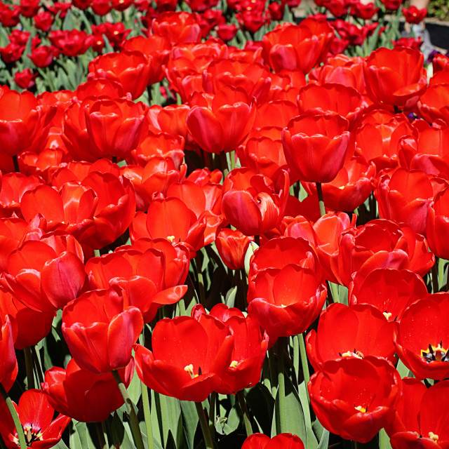 """Red Darwin hybrid tulips"" stock image"