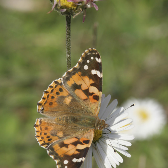 """Painted Lady Vanessa cardui"" stock image"