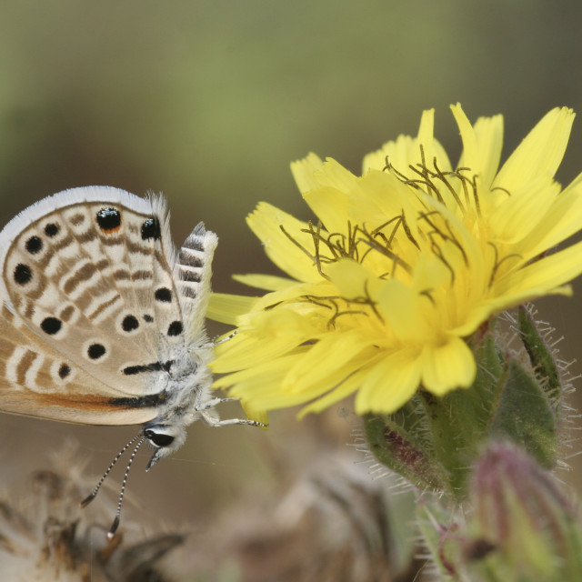 """Peablue (Lampides boeticus), or Long-tailed Blue"" stock image"