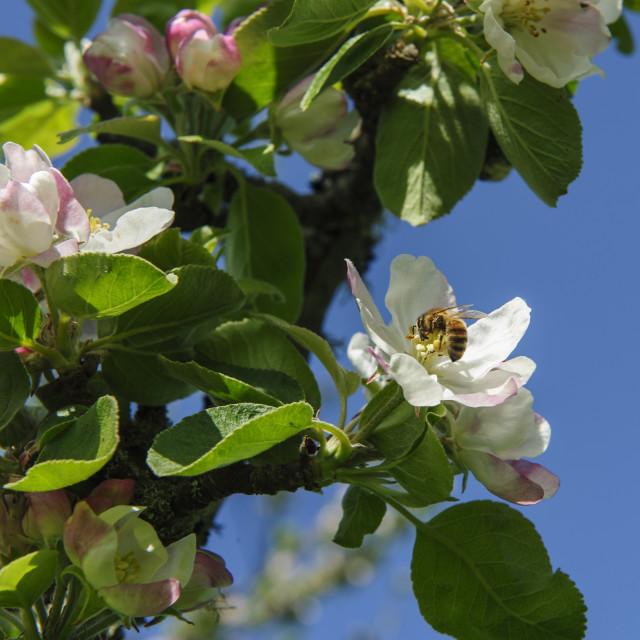 """Bee pollinating an apple tree"" stock image"