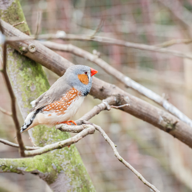 """zebra finch in an aviary"" stock image"