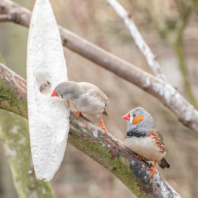 """pair of zebra finches"" stock image"