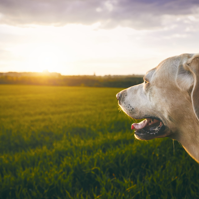 """Happy dog at the sunset"" stock image"