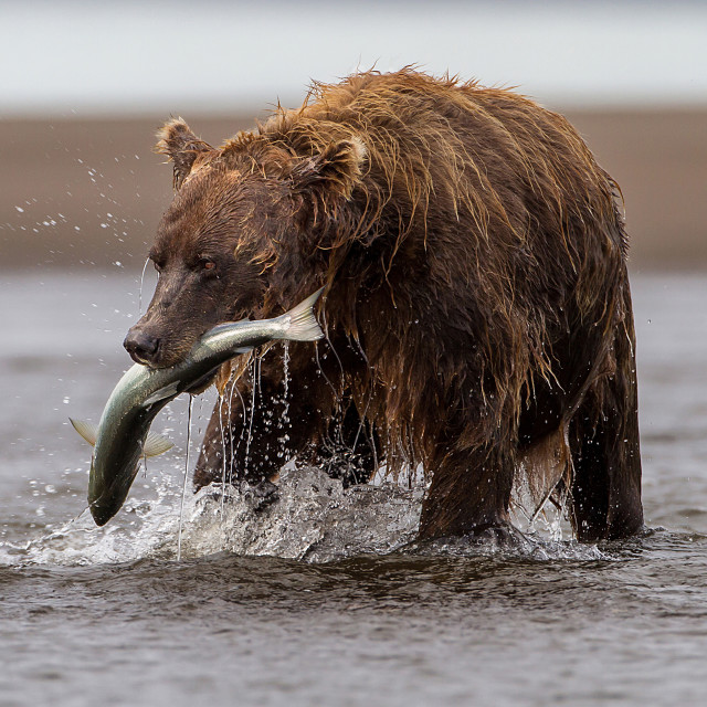 """Brown Bear With Fish"" stock image"