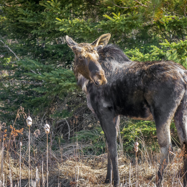 """""""Young Bull Moose"""" stock image"""