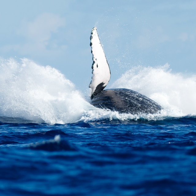 """Humpback whale breaching."" stock image"