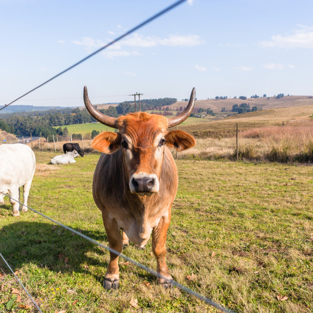 """""""Animals Cattle Beef Farming"""" stock image"""