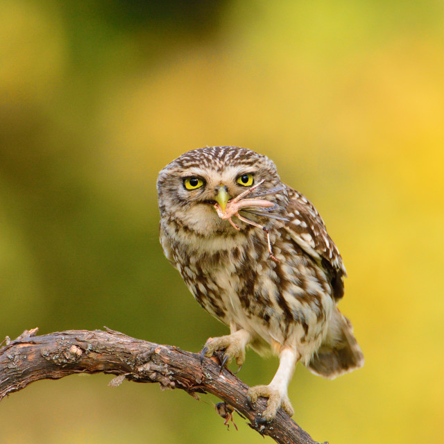 """""""A little owl with a grasshopper."""" stock image"""